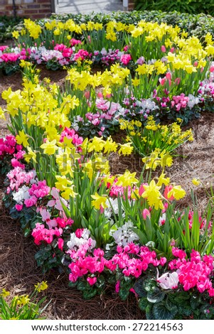 Daffodils and Cyclamen in spring bed.
