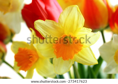 Daffodils and tulips isolated