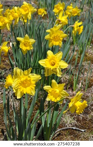 Daffodils at Hubbard Park in Meriden, Connecticut - stock photo