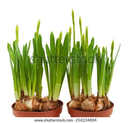 daffodils buds isolated white pots two spring bloom - stock photo