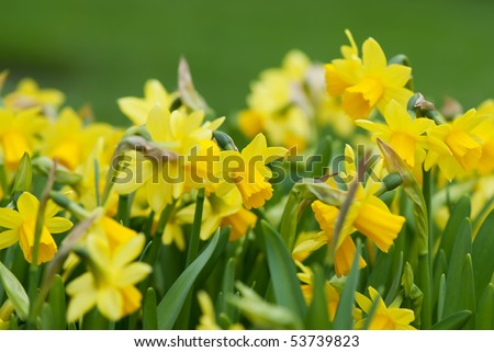 Daffodils closeup. Field with yellow daffodils. - stock photo