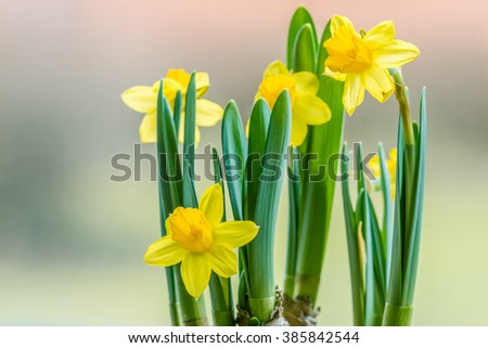 Daffodils flowers closeup in the early spring - stock photo
