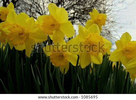 daffodils in a row - stock photo