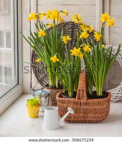 Daffodils in  basket and a decorative watering can on background braided circle - stock photo
