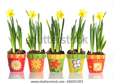 Daffodils in colorful pots. - stock photo