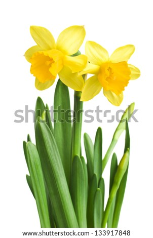 daffodils in green grass over white - stock photo
