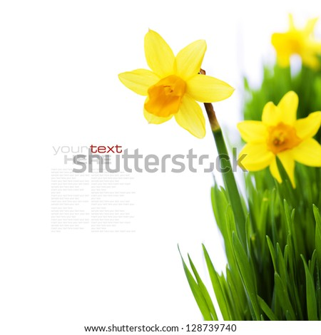 daffodils in green grass over white (with easy removable sample text) - stock photo