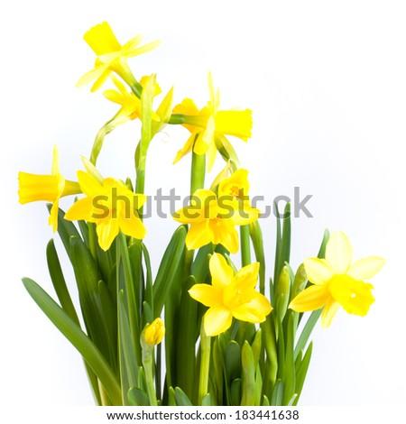 Daffodils in pot - stock photo