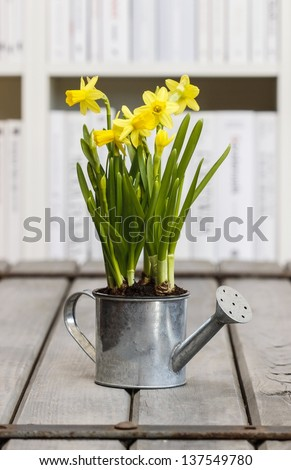 Daffodils in silver watering can on wooden table in library