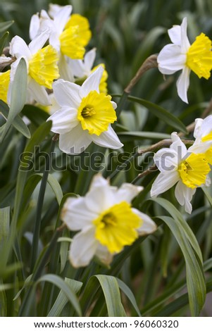 Daffodils in the spring time