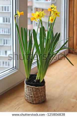 Daffodils narcissus growing in the pot on a window. - stock photo