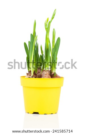 Daffodils (Narcissus) in flower pot - stock photo
