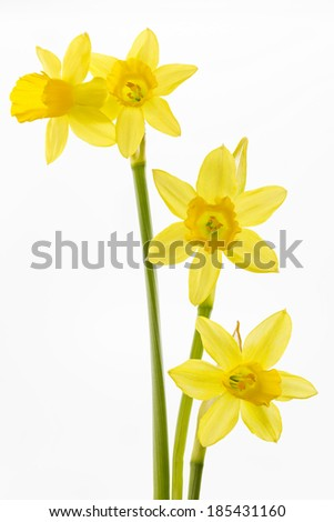 Daffodils (Narcissus pseudonarcissus)  - stock photo