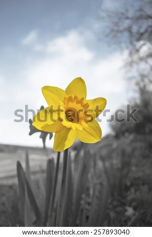 Daffodils on a devon hedge row in Spring, grain present in pollen area, possibility of some colours removed from some images to enhance them, - stock photo