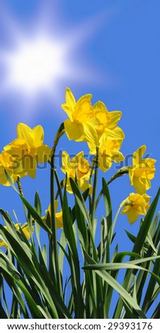 daffodils on a sunny day in spring