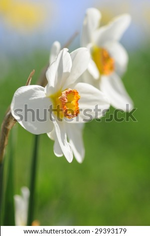 daffodils on a sunny day in spring - stock photo