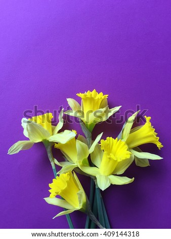 Daffodils on purple with copy space - stock photo