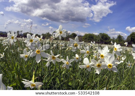 Daffodils on rasvete in Hust Valley, Transcarpathia, Ukraine. Large field of ancient relict flowers - a national landmark in the region. moisture after a rain - a beautiful bloom and fragrance mist