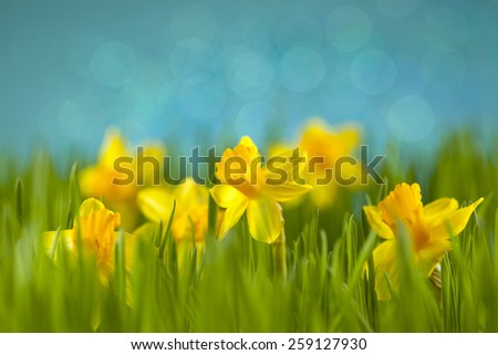 Daffodils on the meadow - stock photo