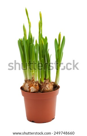 daffodils  young bulbs buds grow pot isolated white  - stock photo