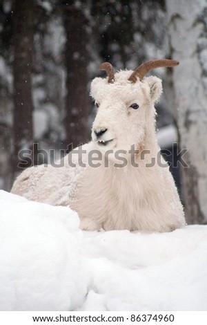Dahl Sheep Laying on Snowy Hillside Wildlife Alaska - stock photo