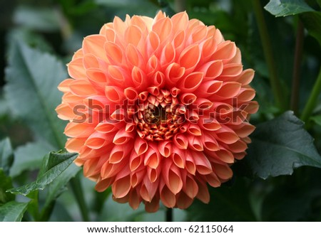 Dahlia Closeup - stock photo