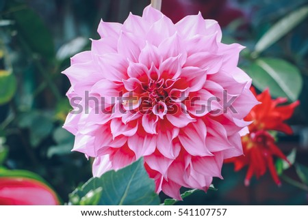 dahlia flower stock images, royaltyfree images  vectors, Natural flower