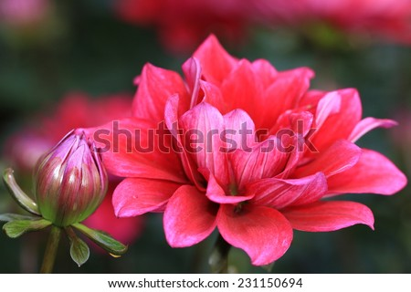 Dahlia flower and bud,closeup of red Dahlia flower in full bloom  - stock photo