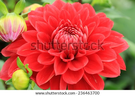 Dahlia flower and buds,red Dahlia flowers and buds blooming in the garden - stock photo