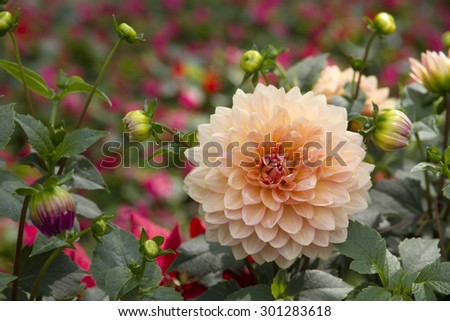 Dahlia flower blossoming  - stock photo