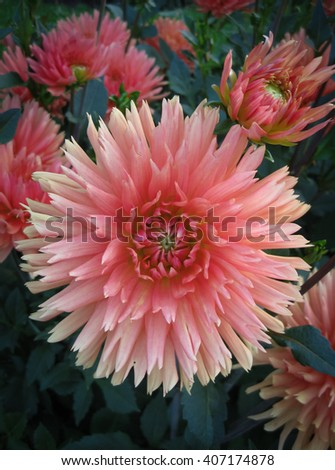 Dahlia flower closeup in a natural garden environment - stock photo