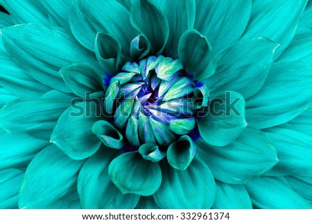 Dahlia  flower  closeup. Macro. Can be used in the design of the site and in printing. Also good for designers.  Cyan, blue.