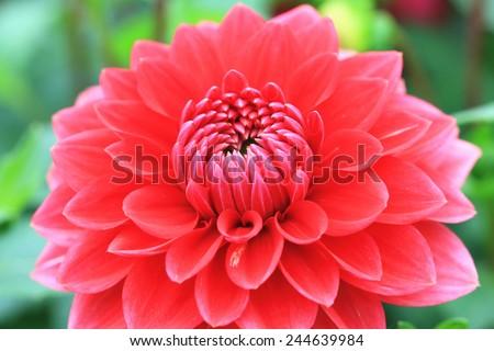 Dahlia flower,closeup of red dahlia flower in full bloom in the garden - stock photo