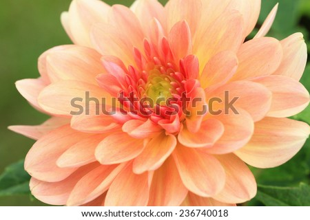 Dahlia flower,closeup of yellow with red Dahlia flower in full bloom in garden  - stock photo