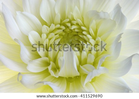 Dahlia flower (Dahlia x cultorum). Close up image of white flower