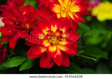 Dahlia flower in red, summer garden - expresses dignity and elegance