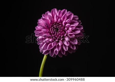 Dahlia flower isolated on black background. Dahlia Flower. - stock photo