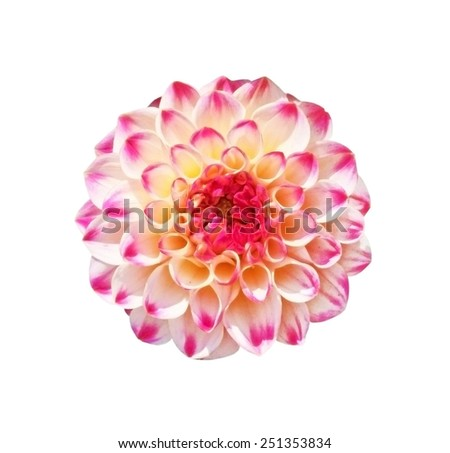 Dahlia flower with burgundy veins on the petals isolated on white background - stock photo