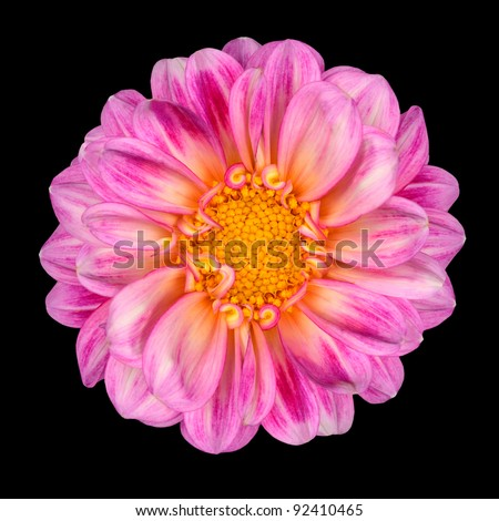 Dahlia Flower with Pink White Petals and Yellow Center Isolated on Black Background