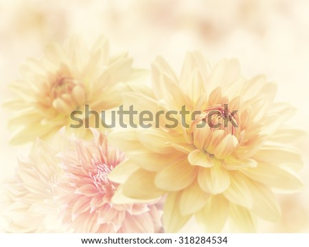 Dahlia Flowers Close Up for Background - stock photo