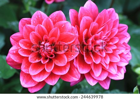 Dahlia flowers,closeup of red dahlia flowers in full bloom in the garden  - stock photo