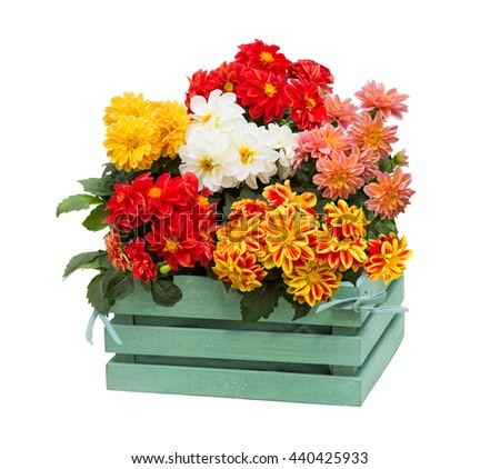 Dahlia Flowers with many blossoms in a green wooden box, for decorating in the shabby chic style.