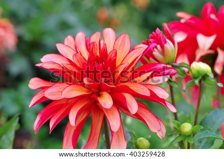 Dahlia in summer, is called G. A. Deco