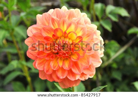 Dahlia is a genus of bushy, tuberous, perennial plants native to Mexico, Central America, and Colombia. There are at least 36 species of dahlia, some like D. imperialis up to 10 metres tall. - stock photo