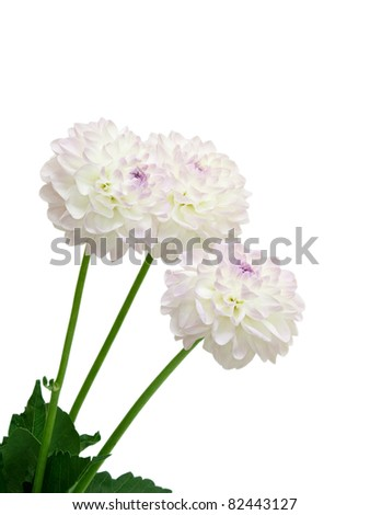 Dahlia isolated on white background