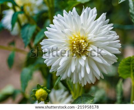 Dahlia My Love - stock photo