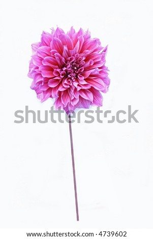 Long stem pink rose Stock Photos, Illustrations, and Vector Art