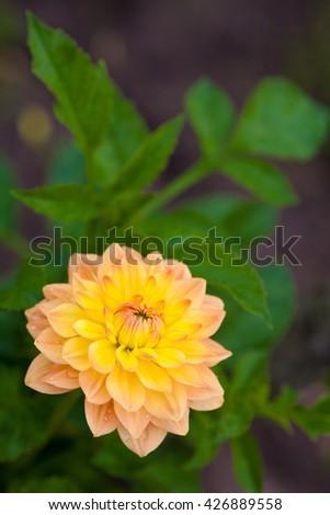 Dahlia orange and yellow flower in garden full bloom closeup - stock photo