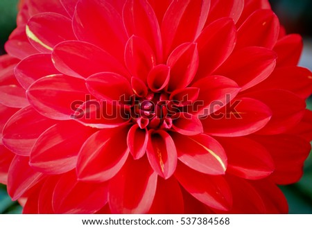 Dahlia red Gaysorn and beautiful flowers background