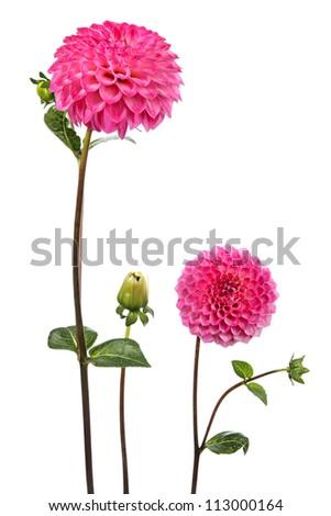 Dahlia. Two flowers isolated on white - stock photo
